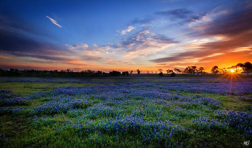flowers field sunrise landscape dawn texas bluebonnets