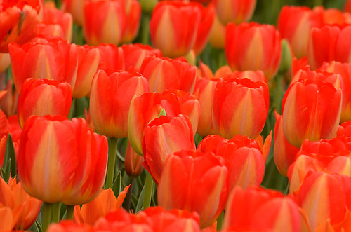 Longwood Tulips -06 Kathy | by KathyCat102