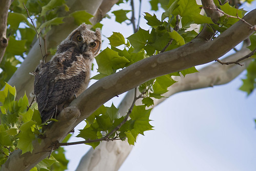 Great Horned Owl | by Stephen J Pollard (Loud Music Lover of Nature)