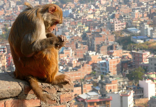 angle animal animaladdiction animals colourful colours composition countryside details earth extérieur fantasticwildlife fauna nature outdoor scenic travel urban urbanlife streetphotography monkey temple asia nepal kathmandu landscape cityscape citylife