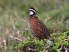 Florida: Northern Bobwhite by spiderhunters
