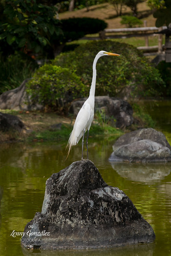 Garza Blanca Real - Ardea alba - Great White Egret | by Leo Gonzalez P