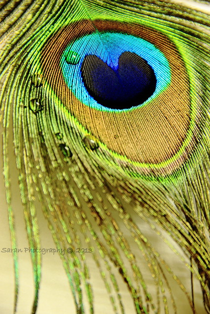 Peacock Feather With droplets of water...!!