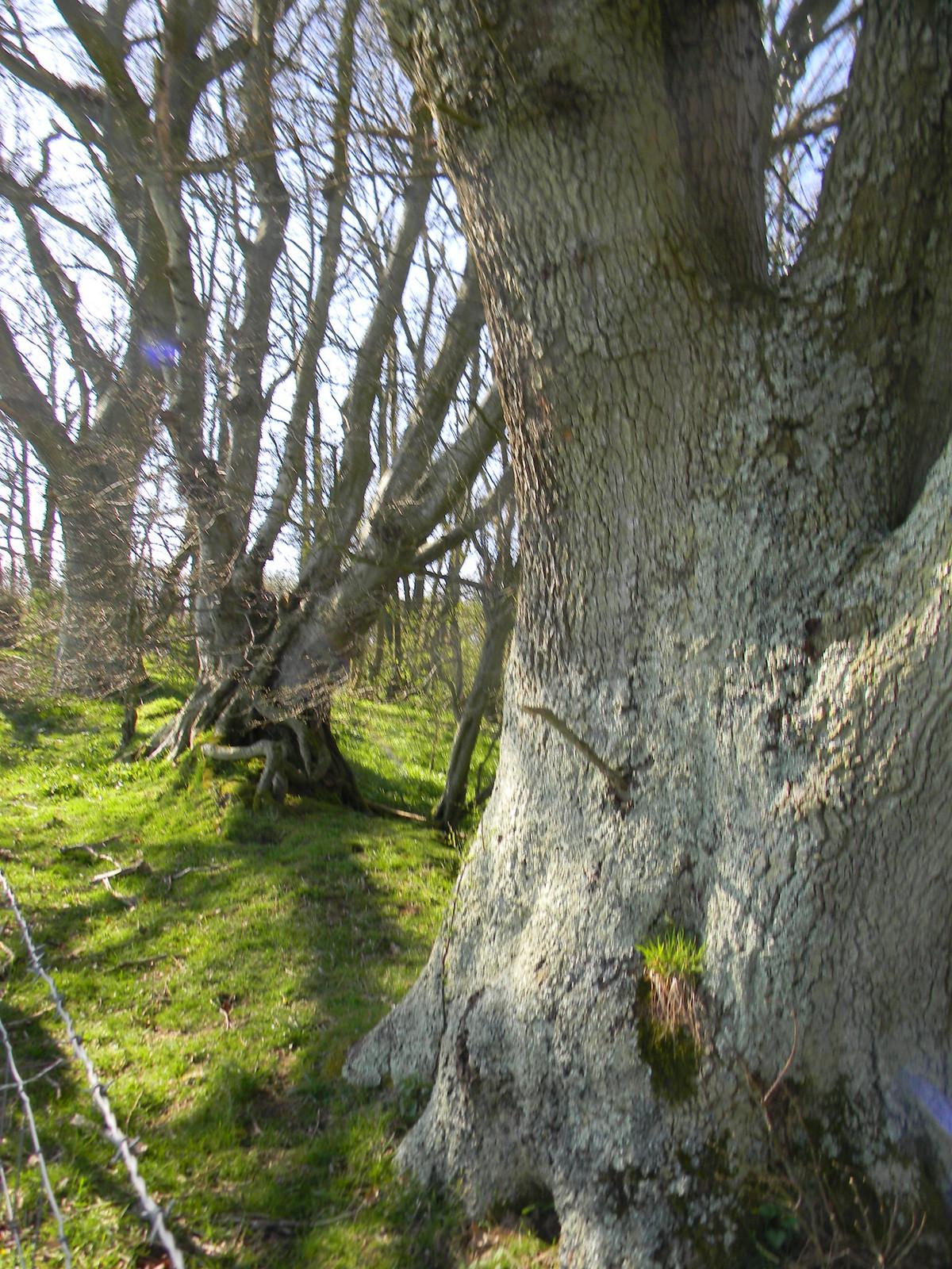 Big tree little tree Robertsbridge to Battle