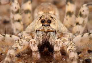 Arctosa littoralis (beach wolf spider) | by Beetles in the Bush