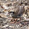 กระทาดงอกสีน้ำตาล Bar-backed Partridge (chick) - Arborophila brunneopectus by Michael Gillam