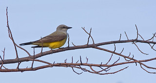 Western Kingbird | by Stephen J Pollard (Loud Music Lover of Nature)