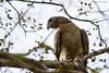 Oriental honey-buzzard by Abhijit Joshi