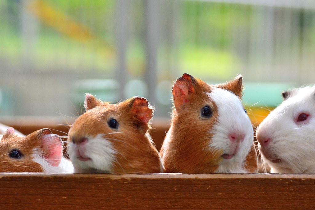 野毛山動物園のモルモット (Guinea-Pigs Nogeyama Zoo)