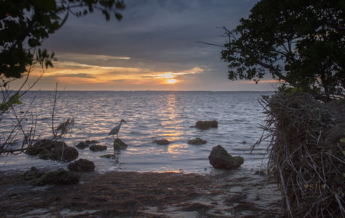 landscape seascape shore shoreline mangrove littleblueheron sunset evening clouds reflection water waves sand rocks cloudy poncedeleon historicalpark puntagorda charlotteharbor peaceriver charlottecounty southwestern florida fl stevefrazierphotography may 2016 trees roots brush seaweed shells gulfcoast gulfofmexico gulf summer nature waterscape