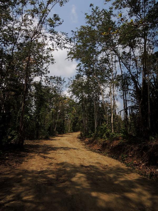 Teak forest 11