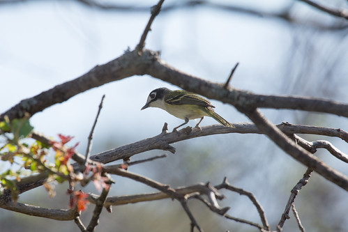 Black-capped Vireo | by Laura Erickson