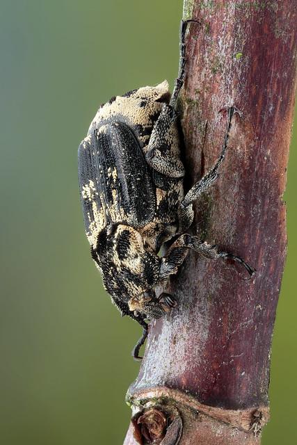Valgus hemipterus (Kortvleugelboorkever)