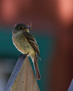 Pacific-slope Flycatcher | by Tom Clifton