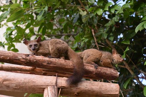 Bush babies, Kilindi Resort, Nungwi, Zanzibar (6 ...