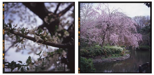Sakura 2013 Fortia SP