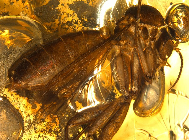 Baltic amber (45 MYO) - Pyrit and fungus gnat (body 6 mm)