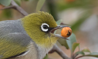 silvereye  (Zosterops lateralis)-8874 | by rawshorty