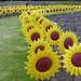 sunflower garden 251/366 by auroradawn61