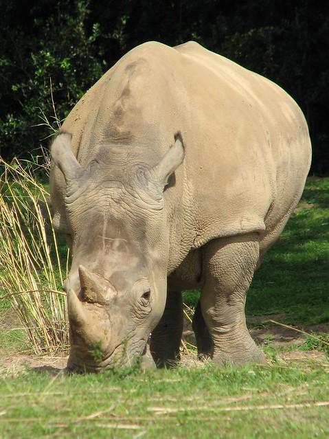 White rhino seen on the Kilimanjaro Safari at Disney's Animal Kingdom