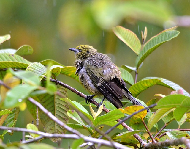 Palm Tanager, very wet at Cuffie River, Tobago.