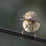 Canary Islands Chiffchaff (Phylloscopus canariensis canariensis)-1601.jpg