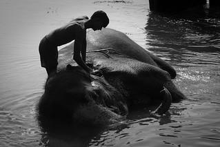 washing an elephant
