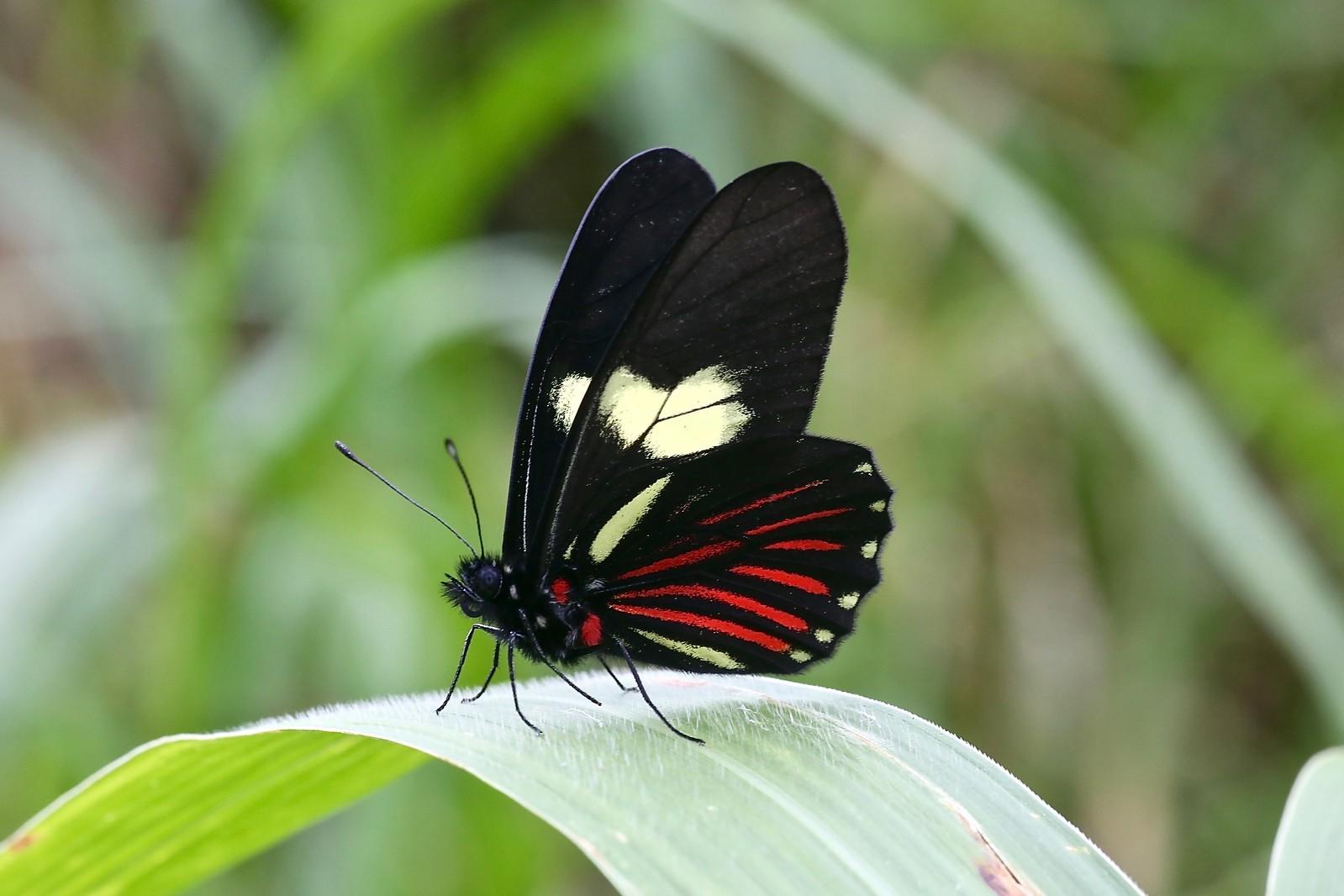 ЭКВАДОР: ОБЛАЧНЫЙ ЛЕС МИНДО Archonias brassolis cutila (Pieridae: Pierinae: Pierini)