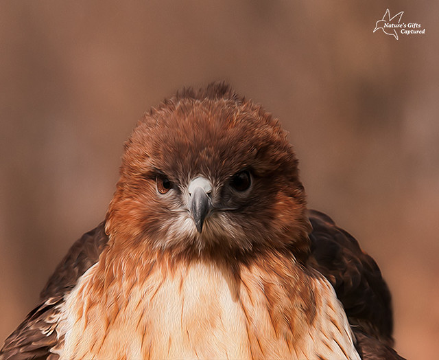 Red-tailed Hawk Intense