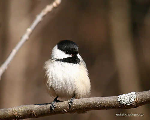 Mésange - Chickadee | by Monique Coulombe