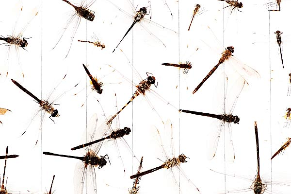 pinned dragonflies, each oriented in different directions
