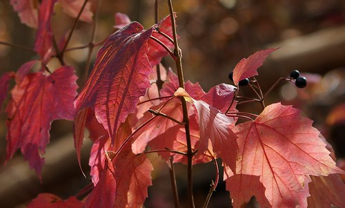 pentax k3 pentaxk3 smcpentaxda55300mmf458ed vbd ct connecticut fall fallcolor autumn newengland pink peach purple oldminepark trumbull leaves 2014 fall2014 bokeh berries lightandshadow leaf foliage