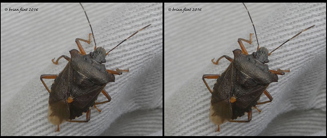 Shield Bug from above - 3d cross-view