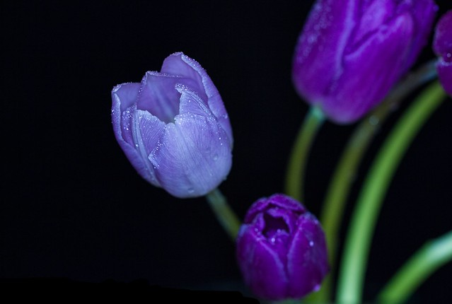 Lilac Tulip on black