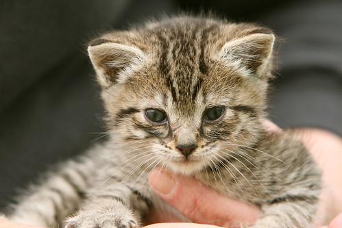 Newborn Kitten | by pocketwiley
