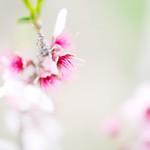 20130407 Sanage peach orchard 1