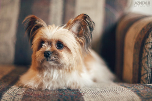 Strobist: Zoei the Pom-Shih Tzu! | by azntaiji