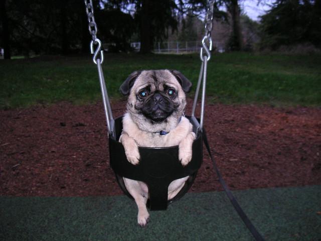 Pug on a Swing!