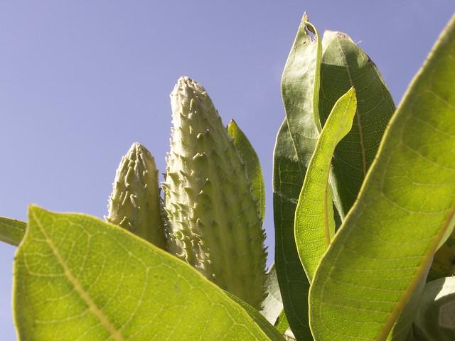 milkweed against the sky