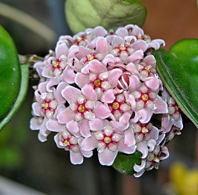 82 Hoya Carnosa Crispa Hindu Rope Plant Jen 64 Flickr