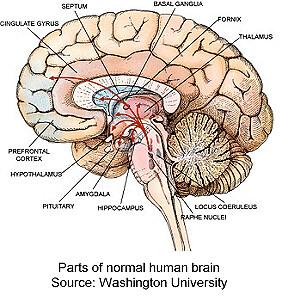 cross section human brain 2 intracranial flickrcross section human brain 2 by intracranial