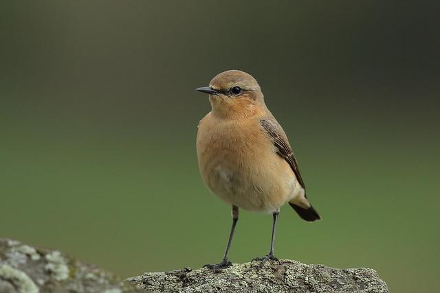 Northern Wheatear (Oenanthe oenanthe) - female