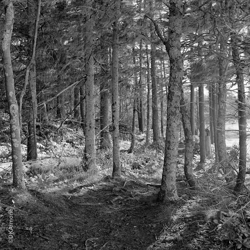 Grove of Trees, Owls Head, Maine