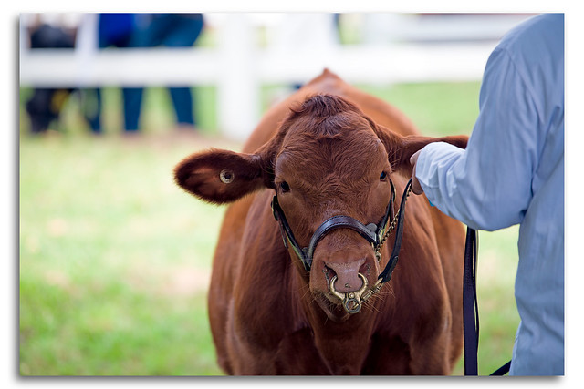 Bull Pen Show Day Milton New South Wales