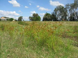 Cyperus polystachyos plant NC10