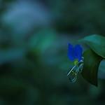 ツユクサ Blue / Asiatic dayflower
