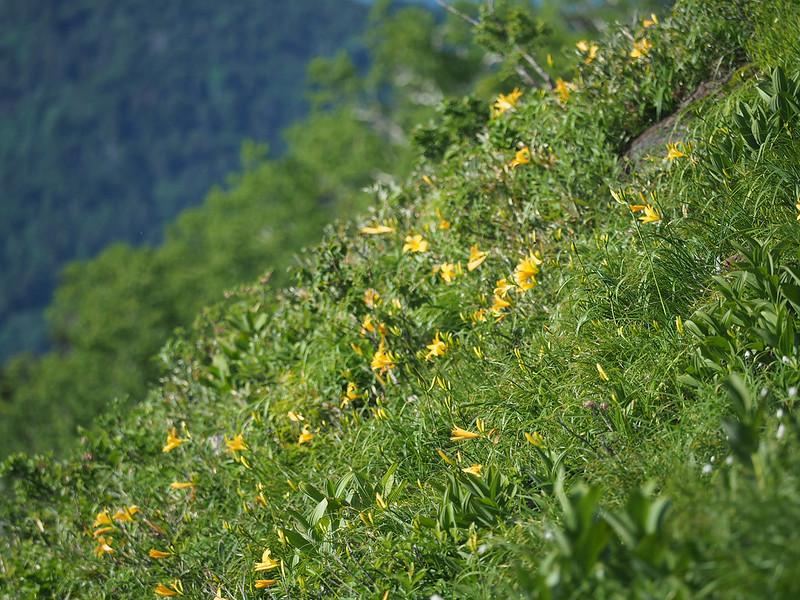 田代山の斜面に咲くニッコウキスゲ