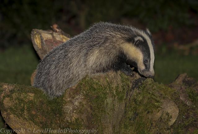 Badger peanut hunting (J) (Meles meles) -'Z' for zoom (Explored))