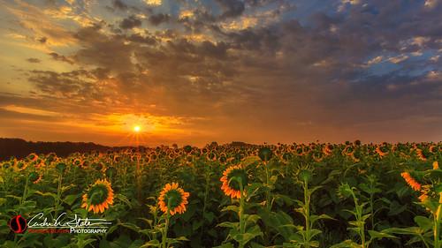 clouds flowers landscape popefarmconservatory sunflower sunrise verona veronawi middleton wisconsin unitedstates us canon 5dmarkiii landscapephotography andrewslaterphotography