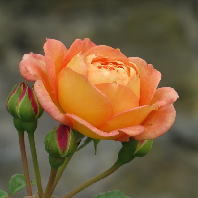 Bodnant Garden (21)